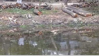 মুন্সিগঞ্জের শ্রীনগরের রাঢ়িখালে সরকারি গাছ কর্তন